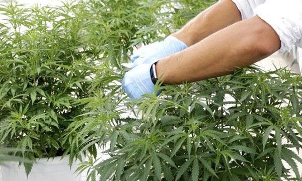 picking cannabis