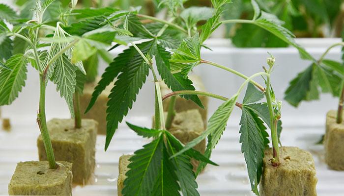 cannabis trees