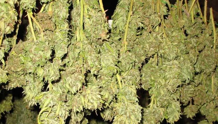 cannabis-buds-air-drying