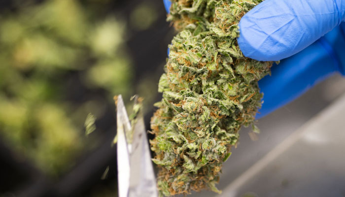 cannabis-buds-getting-trimmed