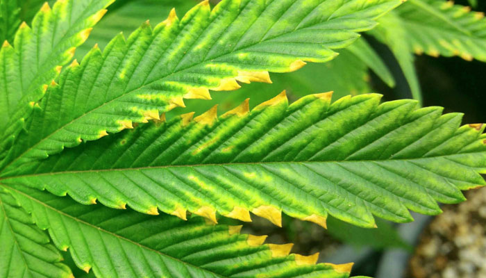 cannabis-plant-with-magnesium-deficiency
