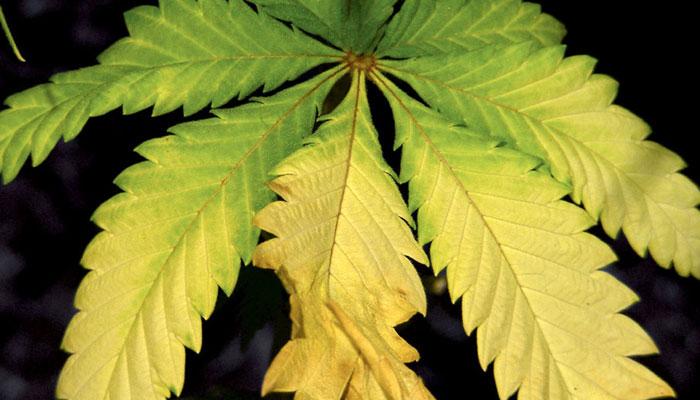 cannabis-with-nitrogen-deficiency