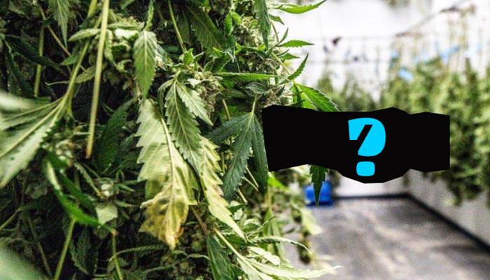 drying-cannabis-1
