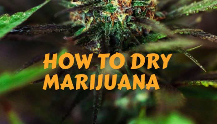 how-to-dry-marijuana