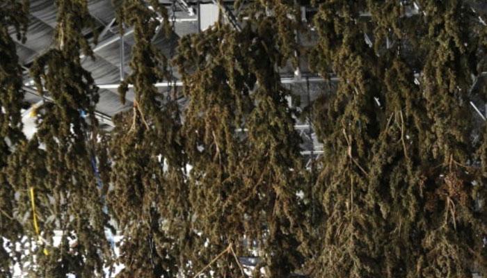 image-of-marijuana-drying