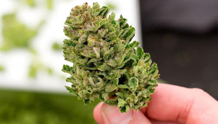 raw-cannabis-bud